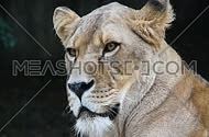 Close up full frame portrait of one African lioness (panther leo) face, lion female looking at camera, side turning her head, moves ears