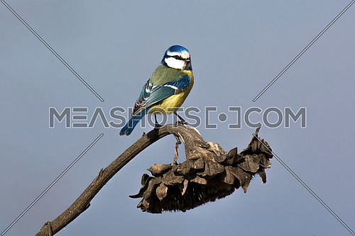 Parus caeruleus tit perched on a branch eating a sunflower seed