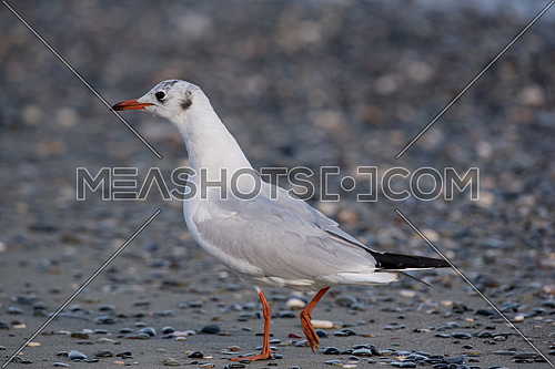 Detailed portrait of natural black-headed gull ( Larus ridibundus)