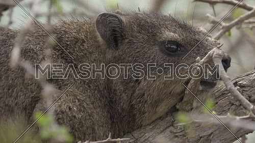 Scene of a Hyrax resting on a branch