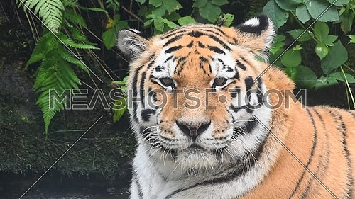 Close up portrait of one mature Amur Siberian tiger male in water, looking at camera, low angle view