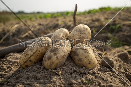 Newly dug or harvested potatoes in a farm field with hoe in a low angle view on rich brown earth in a concept of food cultivation
