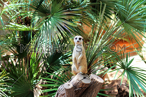 Meerkat on tree trunk looking to the camera