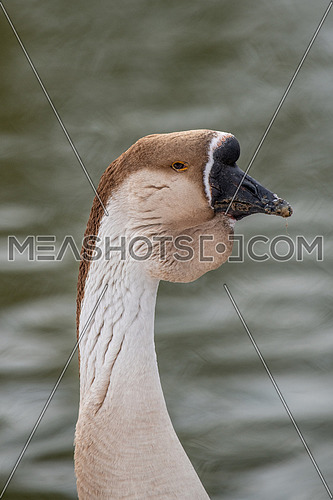 Portrait of an interesting goose profile. Swanfish (Anser cygnoides)