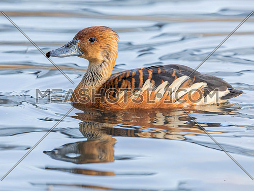 Fulvous whistling duck or fulvous tree duck (Dendrocygna bicolor) swimming in a pond