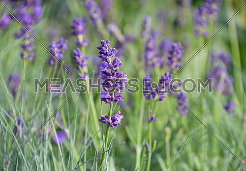 Close up blooming purple lavender flowers in green grass, low angle side view