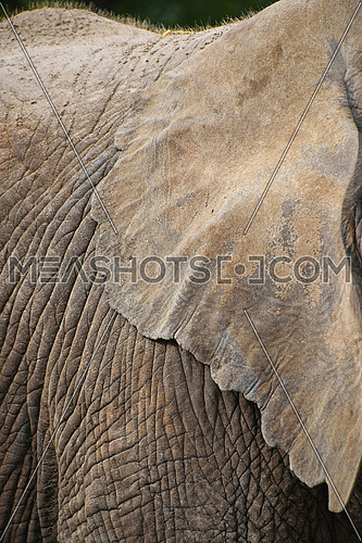 Extreme close up ear of African elephant, low angle side profile view