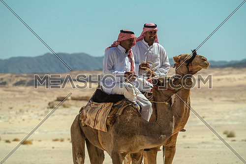 Two bediuon males riding a camels at Wadi Agarat area in Sinai by day.