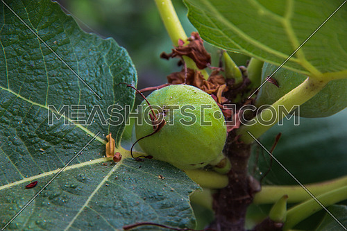 A green fig fruit on a tree