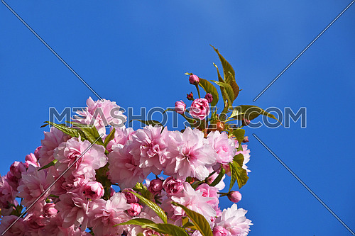 Branch of fresh pink cherry blossom sakura flowers with green leaves and new buds over blue sky background