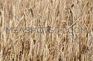 Field of ripe mature wheat full ears spikes shaking trembling in the wind
