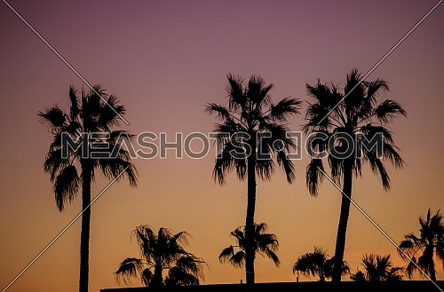 Dawn of palm trees silhouette during sunset Phoenix Arizona United States