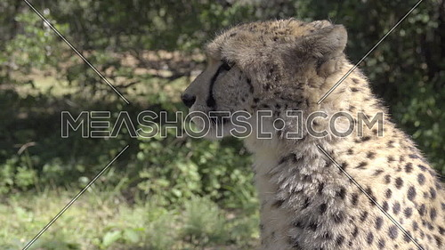 Scene of a cheetah sitting in a forest