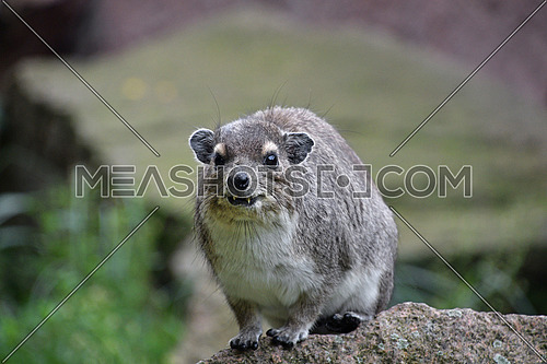 Close up front portrait of one Hyrax sitting on stone and looking at camera, low angle view