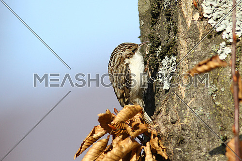 Tree creeper, Certhia Familiaris, climbing on a tree trunk looking for insects to feed on