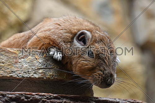 Close up portrait of Gundi comb rat, African rodent, laying down relaxed on stone and looking at camera, low angle view