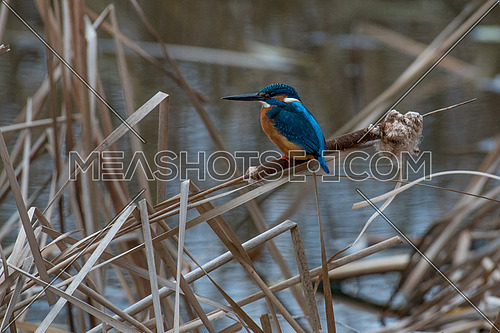 The common kingfisher (Alcedo atthis) also known as the Eurasian kingfisher and river kingfisher sitting on typha