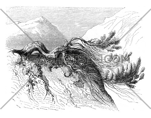 The mountain pine, vintage engraved illustration. Magasin Pittoresque 1847.