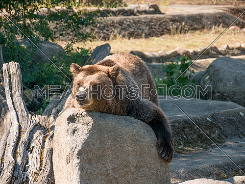 The grizzly bear also known as the silvertip bear, the grizzly, or the North American brown bear, is a subspecies of brown bear that generally lives in the uplands of western North America