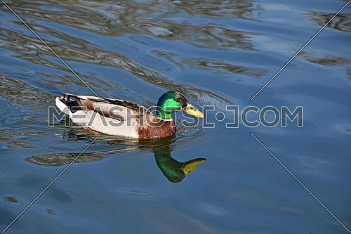 One mallard duck swimming in calm blue wavy lake water with reflection and trace