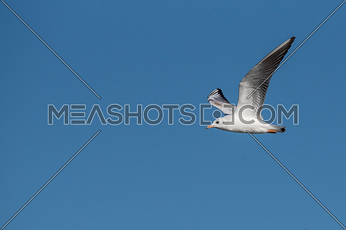 Black-headed gull (Chroicocephalus ridibundus)  in flight. Flying towards camera.  Nature and wild bird image.