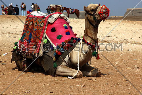 a photo for a camel sitting at the Giza Pyramids area used by tourists for having a ride or tour