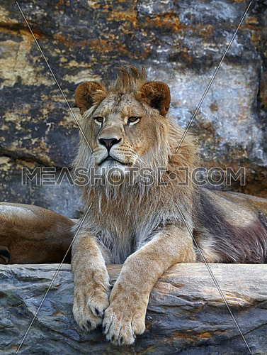 Portrait of young cute male African lion laying resting on the rock and looking at camera, low angle view