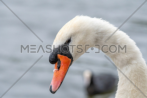 A close up of Mute Swan Cygnet (Cygnus olor)