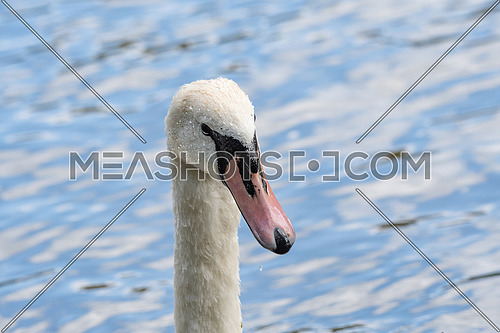 A close up of an adult Mute Swan Cygnet (Cygnus olor)