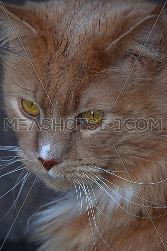 Close up front portrait of one ginger colored domestic cat looking at camera, low angle view