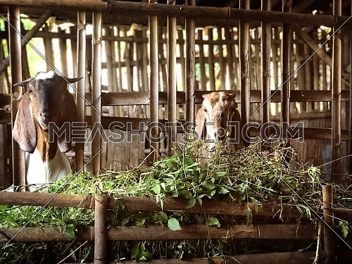 two goats head off the bamboo fence of the cattle shed while eating at the feedlot