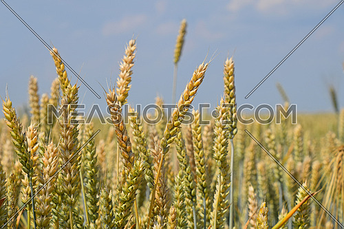 Close up field of green and ripe wheat or rye ears under clear blue sky, low angle view