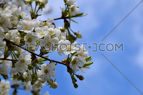 Spring cherry blossom - cherry tree with flowers and leaves on background of blue skies
