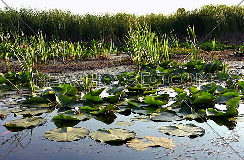 Swamp and floating leaves Viewed From Boat