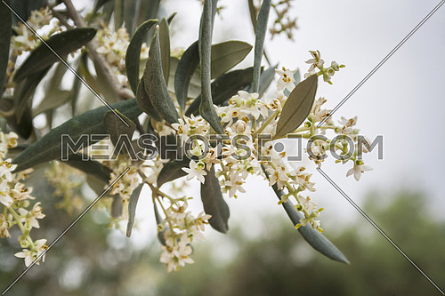 Detail of a branch of olive tree in flowering during spring, Andalusia, Spain
