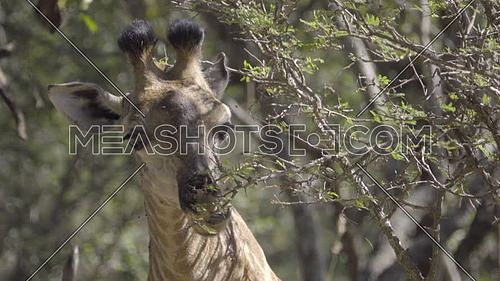 View of giraffe chewing on tree leaves