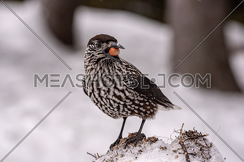 Spotted Nutcracker (Nucifraga caryocatactes) in winter forest.
