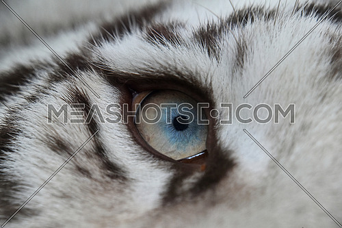 Extreme close up blue eye of young white tiger cub looking up
