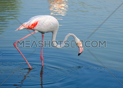 The greater flamingo Phoenicopterus roseus is the most widespread species of the flamingo family. It is found in Africa, on the Indian subcontinent, in the Middle East and southern Europe