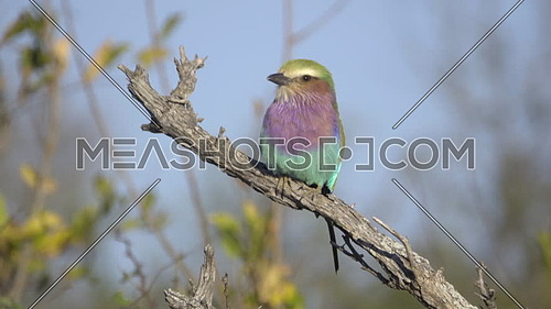 View of a Lilac-Breasted Roller perched on a dead branch