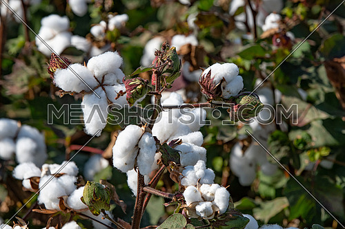 Close-up of Ripe cotton bolls on branch