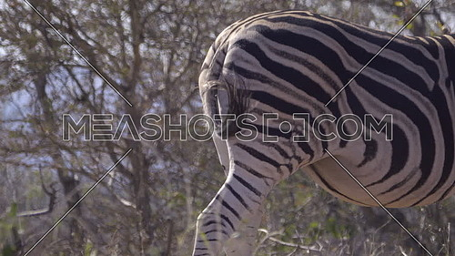 View of the rear end and tail of a Zebra
