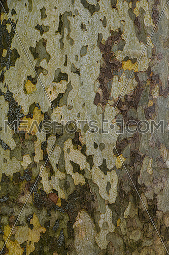 Close up background pattern of camouflage colored plane sycamore bark surface