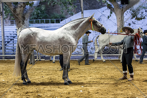 Spanish horse of pure race taking part during an exercise of equestrian morphology in Andujar, Jaen province, Andalusia, Spain