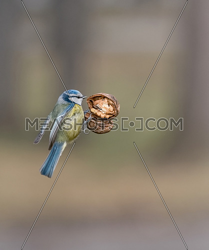 Eurasian blue tit (Cyanistes caeruleus or Parus caeruleus) bird in yellow blue color catching walnut in the air