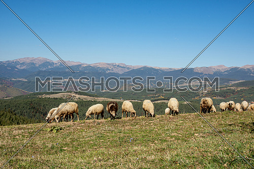 Sheeps standing in a meadow mountain hill. View of sheeps in the countryside. Green fields in the mountains with grazing sheep and blue sky
