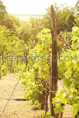 Vineyard in the sunny day