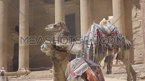 View of Camels near the Treasury in Petra