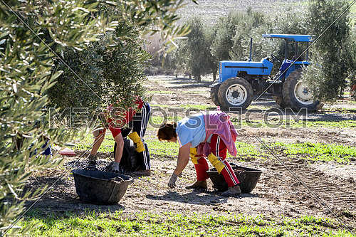 Jaen, Spain - yanuary 2008, 23: Women farmers during the campaign of olive in a field of olive trees, drag the olives in a basket from the floor, take in Jaen, Spain