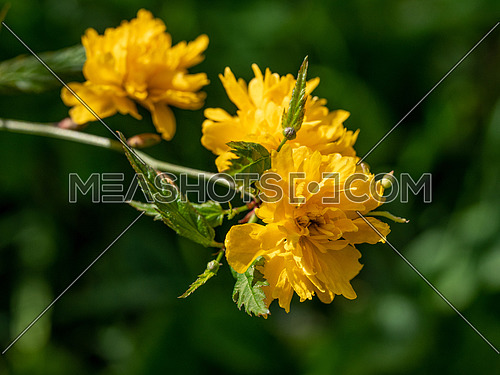 The Kerria japonica yellow flowers blooming in spring